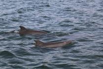 Dolphins in San Carlos, Sonora, Mexico