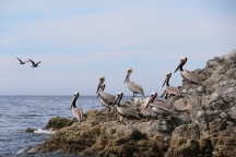 Pelicans at San Carlos, Sonora, Mexico